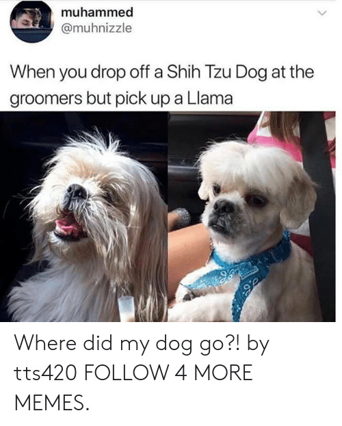 Groomers: muhammed  @muhnizzle  When you drop off a Shih Tzu Dog at the  groomers but pick up a Llama Where did my dog go?! by tts420 FOLLOW 4 MORE MEMES.