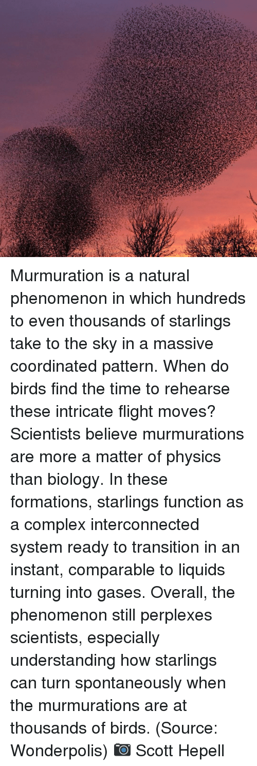 Complex, Memes, and Birds: Murmuration is a natural phenomenon in which hundreds to even thousands of starlings take to the sky in a massive coordinated pattern. When do birds find the time to rehearse these intricate flight moves? Scientists believe murmurations are more a matter of physics than biology. In these formations, starlings function as a complex interconnected system ready to transition in an instant, comparable to liquids turning into gases. Overall, the phenomenon still perplexes scientists, especially understanding how starlings can turn spontaneously when the murmurations are at thousands of birds. (Source: Wonderpolis) 📷 Scott Hepell