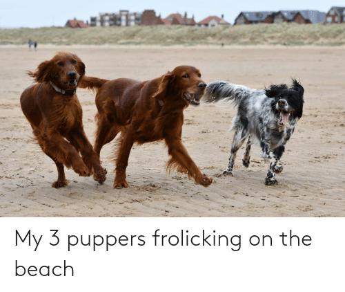 the beach: My 3 puppers frolicking on the beach