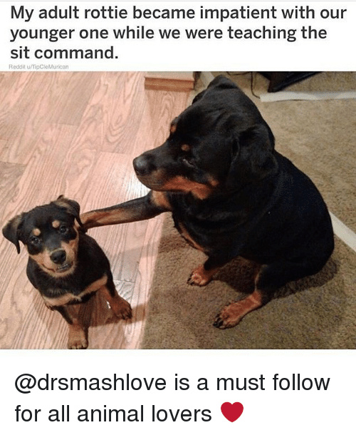 Memes, Reddit, and Animal: My adult rottie became impatient with our  younger one while we were teaching the  sit command.  Reddit u/TipCleMurican @drsmashlove is a must follow for all animal lovers ❤️