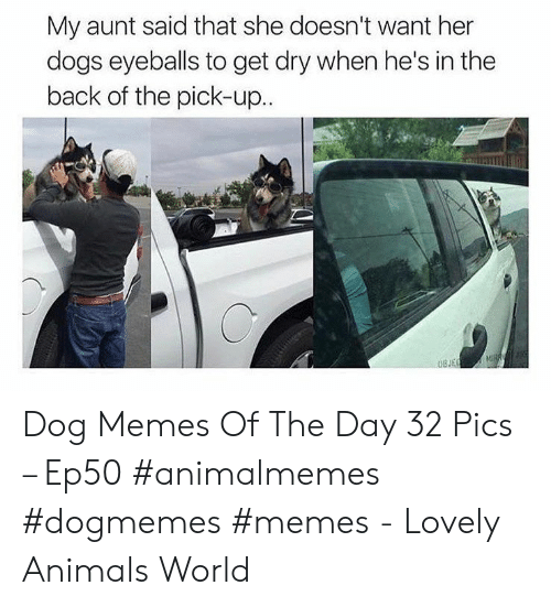 eyeballs: My aunt said that she doesn't want her  dogs eyeballs to get dry when he's in the  back of the pick-up.. Dog Memes Of The Day 32 Pics – Ep50 #animalmemes #dogmemes #memes - Lovely Animals World