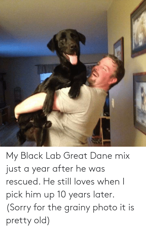 Lab: My Black Lab Great Dane mix just a year after he was rescued. He still loves when I pick him up 10 years later. (Sorry for the grainy photo it is pretty old)