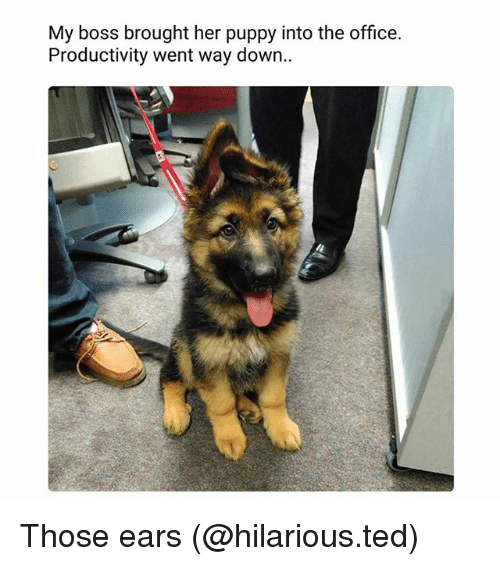 Funny, Ted, and The Office: My boss brought her puppy into the office.  Productivity went way down.. Those ears (@hilarious.ted)