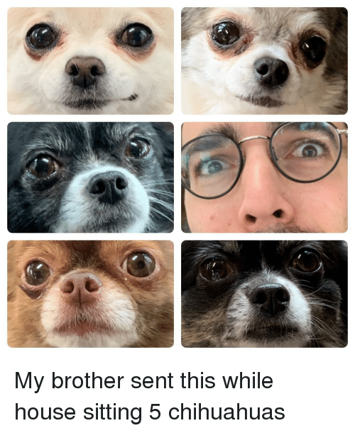 chihuahuas: My brother sent this while house sitting 5 chihuahuas