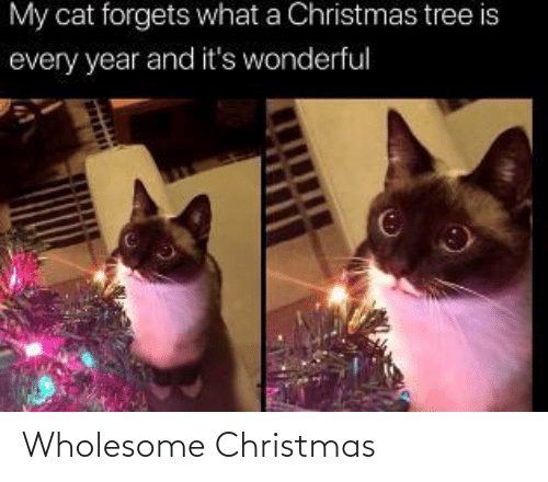 Forgets: My cat forgets what a Christmas tree is  every year and it's wonderful Wholesome Christmas