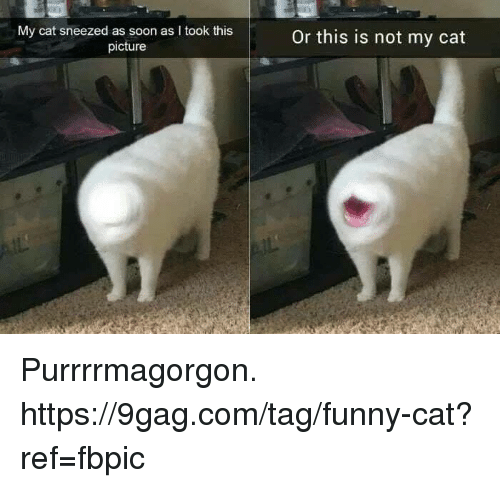 funny cat: My cat sneezed as soon as I took this  picture  Or this is not my cat Purrrrmagorgon. https://9gag.com/tag/funny-cat?ref=fbpic