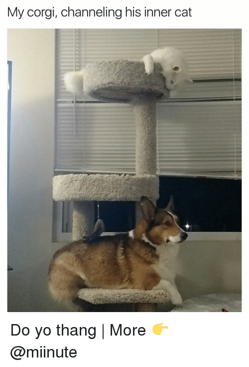 Corgi, Funny, and Cat: My corgi, channeling his inner cat Do yo thang | More 👉 @miinute