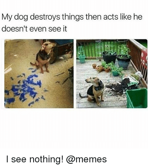 I See Nothing: My dog destroys things then acts like he  doesn't even see it I see nothing! @memes