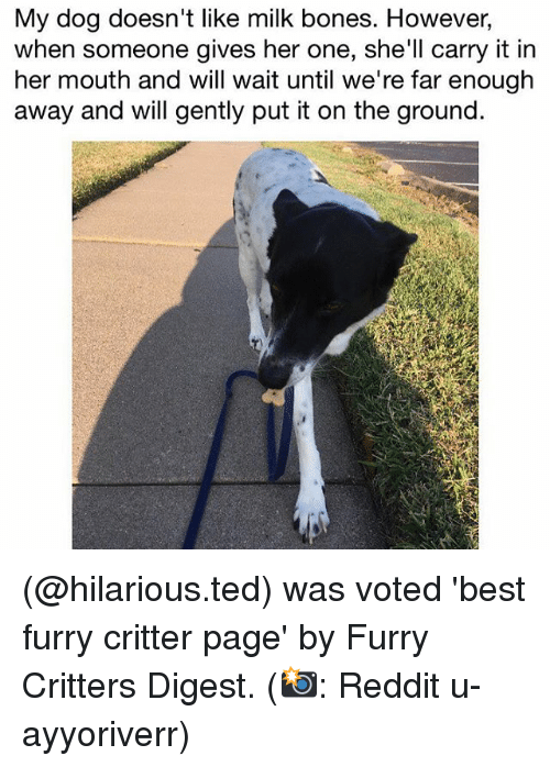 Bones, Memes, and Reddit: My dog doesn't like milk bones. However,  when someone gives her one, she'll carry it in  her mouth and will wait until we're far enough  away and will gently put it on the ground. (@hilarious.ted) was voted 'best furry critter page' by Furry Critters Digest. (📸: Reddit u-ayyoriverr)