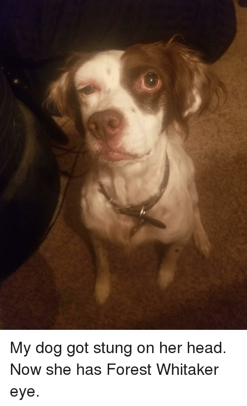 Forest Whitakers Eye: My dog got stung on her head. Now she has Forest Whitaker eye.