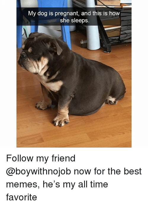 Funny, Memes, and Pregnant: My dog is pregnant, and this is how  she sleeps Follow my friend @boywithnojob now for the best memes, he's my all time favorite