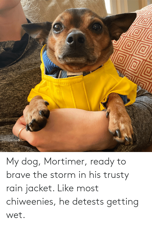 jacket: My dog, Mortimer, ready to brave the storm in his trusty rain jacket. Like most chiweenies, he detests getting wet.