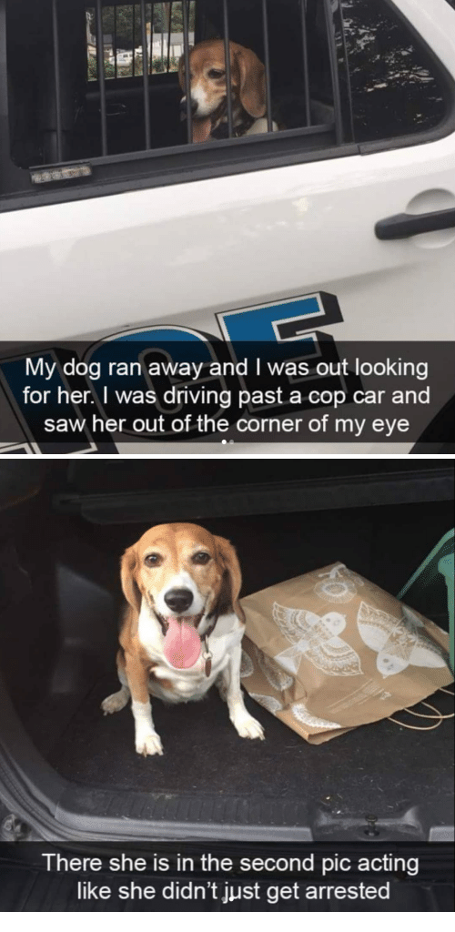 cop car: My dog ran away and I was out looking  for her. I was driving past a cop car and  saw her out of the corner of my eye   There she is in the second pic acting  like she didn't just get arrested