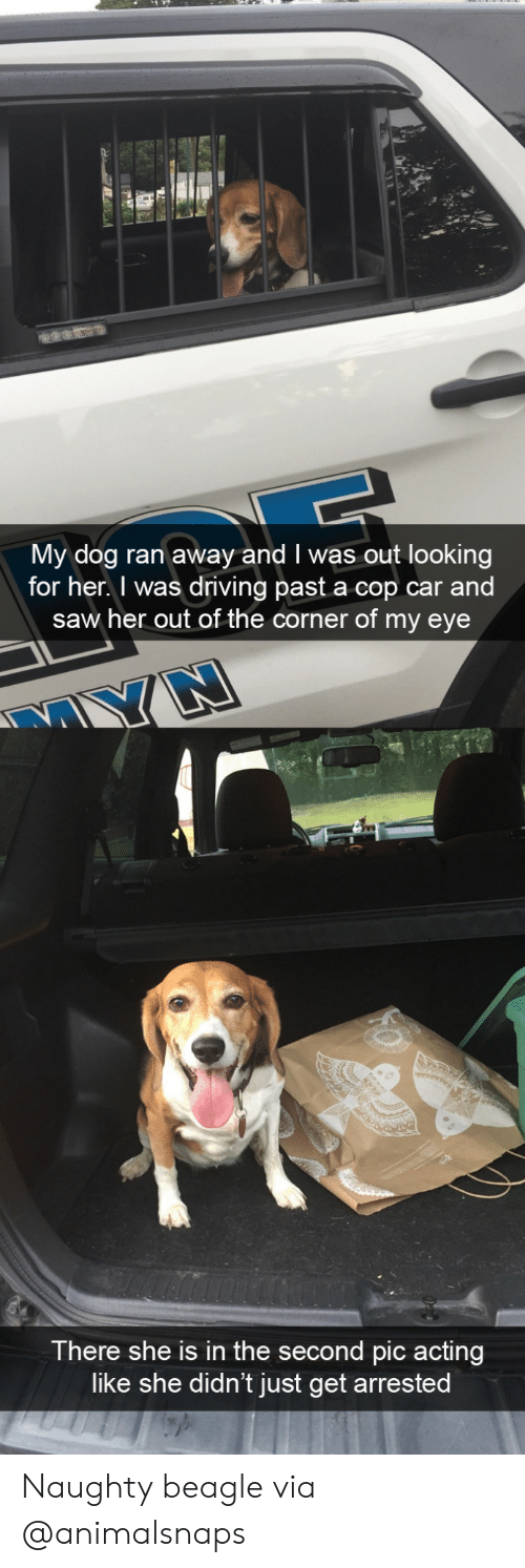 cop car: My dog ran away and I was out looking  for her. I was driving past a cop car and  saw her out of the corner of my eye  There she is in the second pic acting  like she didn't just get arrested Naughty beaglevia @animalsnaps