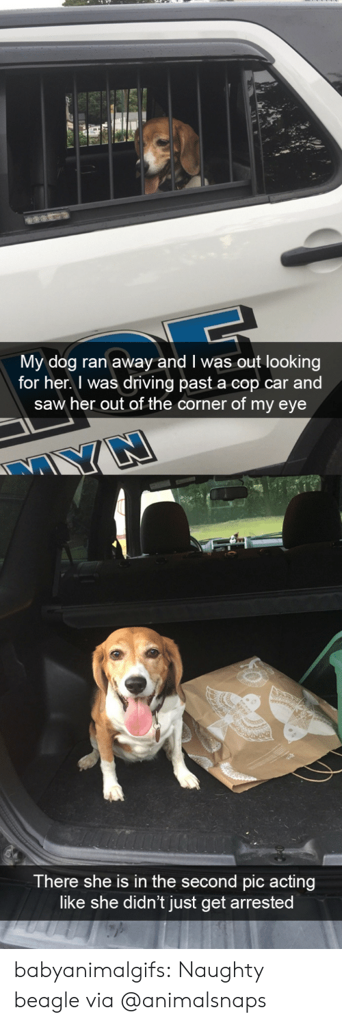 Naughty: My dog ran away and I was out looking  for her. I was driving past a cop car and  saw her out of the corner of my eye  There she is in the second pic acting  like she didn't just get arrested babyanimalgifs:  Naughty beaglevia @animalsnaps