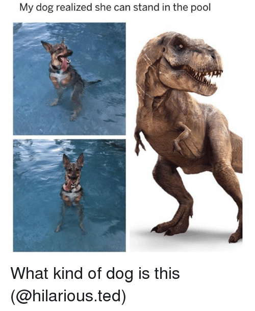 Funny, Ted, and Pool: My dog realized she can stand in the pool What kind of dog is this (@hilarious.ted)