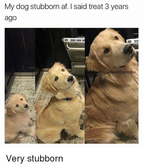 Af, Memes, and Been: My dog stubborn af. said treat 3 years  ago  Been here Very stubborn