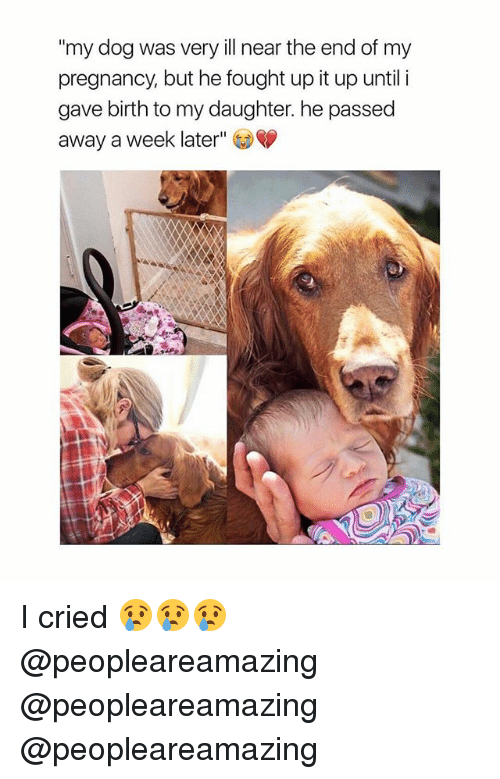 """Memes, Pregnancy, and 🤖: """"my dog was very ill near the end of my  pregnancy, but he fought up it up until i  gave birth to my daughter. he passed  away a week later"""" I cried 😢😢😢 @peopleareamazing @peopleareamazing @peopleareamazing"""