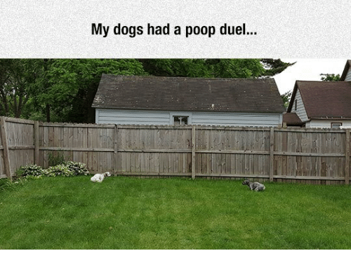 Dogs: My dogs had a poop duel...