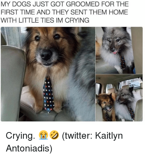 Crying, Dogs, and Memes: MY DOGS JUST GOT GROOMED FOR THE  FIRST TIME AND THEY SENT THEM HOME  WITH LITTLE TIES IM CRYING Crying. 😭🤣  (twitter: Kaitlyn Antoniadis)