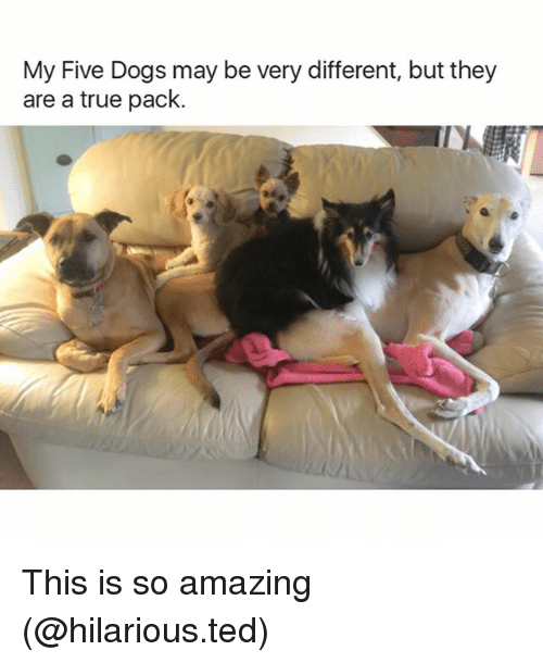 so amazing: My Five Dogs may be very different, but they  are a true pack. This is so amazing (@hilarious.ted)