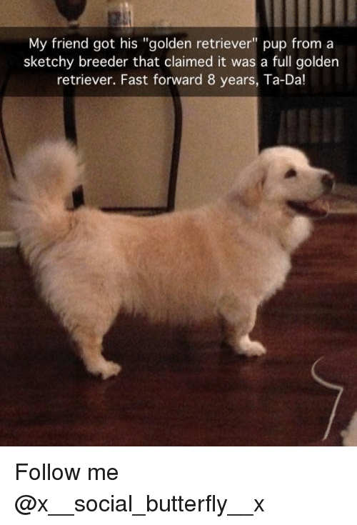 """ta da: My friend got his """"golden retriever"""" pup froma  sketchy breeder that claimed it was a full golden  retriever. Fast forward 8 years, Ta-Da! Follow me @x__social_butterfly__x"""