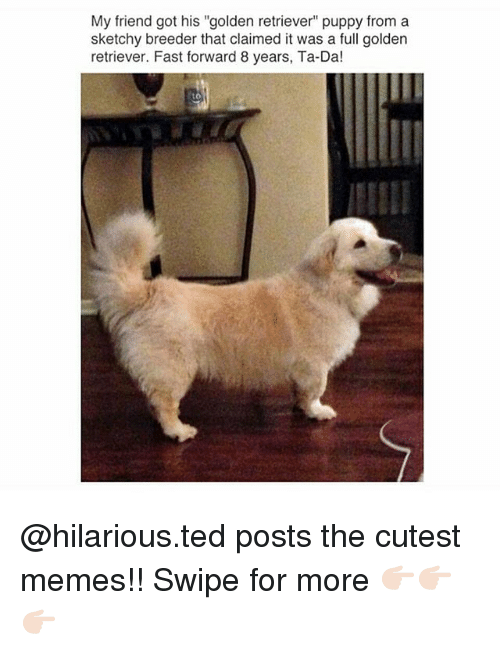 """ta da: My friend got his """"golden retriever puppy from a  sketchy breeder that claimed it was a full golden  retriever. Fast forward 8 years, Ta-Da!  to @hilarious.ted posts the cutest memes!! Swipe for more 👉🏻👉🏻👉🏻"""
