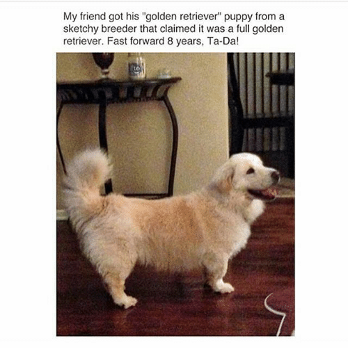 """ta da: My friend got his """"golden retriever"""" puppy from a  sketchy breeder that claimed it was a full golden  retriever. Fast forward 8 years, Ta-Da!"""