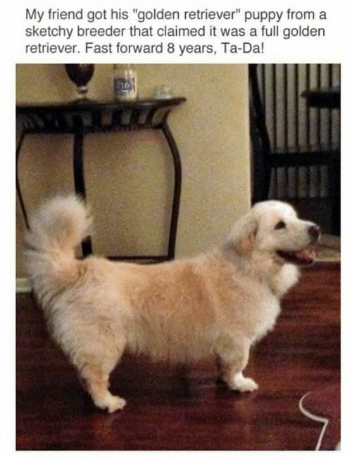 """ta da: My friend got his """"golden retriever"""" puppy from a  sketchy breeder that claimed it was a full golden  retriever. Fast forward 8 years, Ta-Da!  to"""