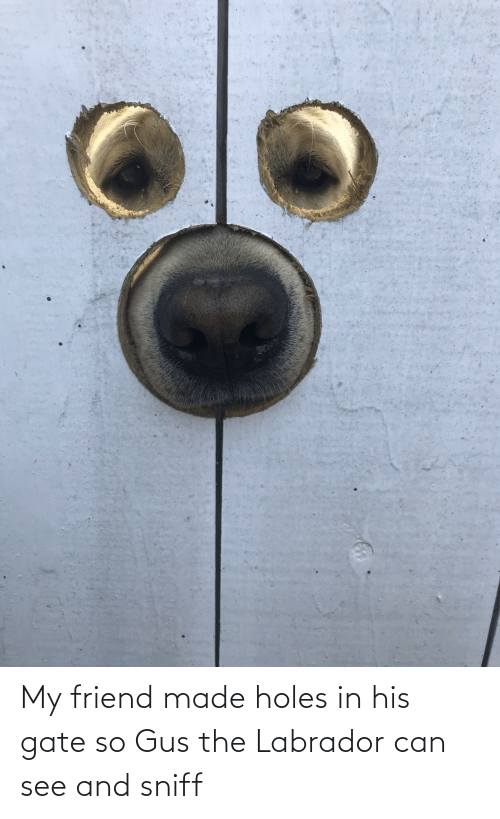 Holes: My friend made holes in his gate so Gus the Labrador can see and sniff