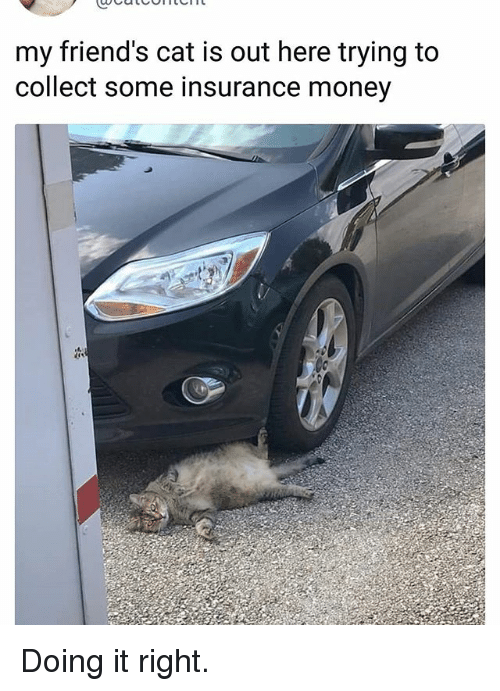 Friends, Memes, and Money: my friend's cat is out here trying to  collect some insurance money Doing it right.