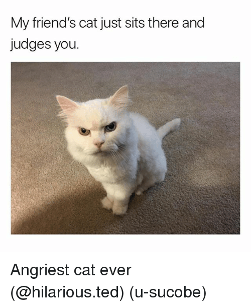 Angriest: My friend's cat just sits there and  judges you. Angriest cat ever (@hilarious.ted) (u-sucobe)