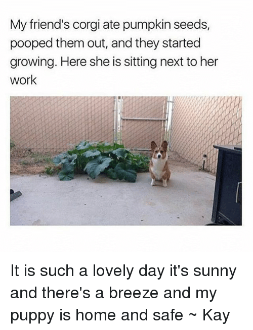 Kaye: My friend's corgi ate pumpkin seeds,  pooped them out, and they started  growing. Here she is sitting next to her  work It is such a lovely day it's sunny and there's a breeze and my puppy is home and safe ~ Kay