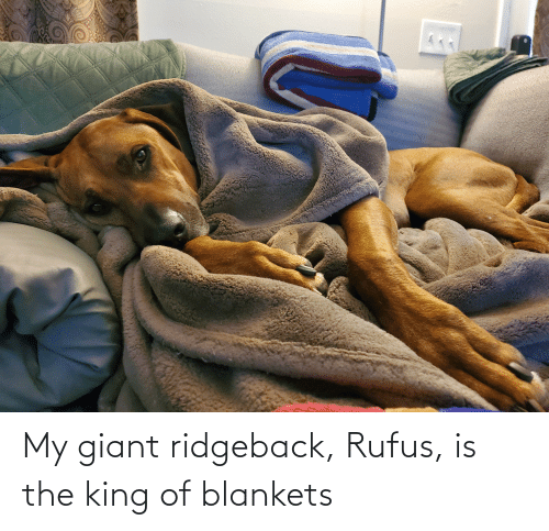 King Of: My giant ridgeback, Rufus, is the king of blankets