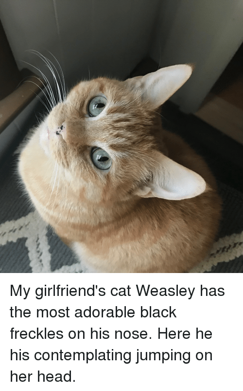 weasley: My girlfriend's cat Weasley has the most adorable black freckles on his nose. Here he his contemplating jumping on her head.