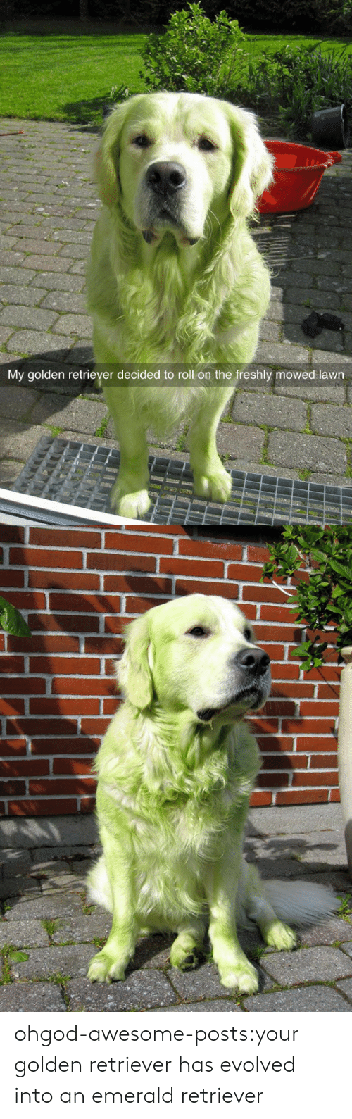 retriever: My golden retriever decided to roll on the freshly mowed lawn ohgod-awesome-posts:your golden retriever has evolved into an emerald retriever