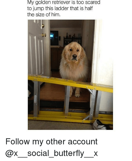 Memes, Butterfly, and Golden Retriever: My golden retriever is too scared  to jump this ladder that is half  the size of him Follow my other account @x__social_butterfly__x