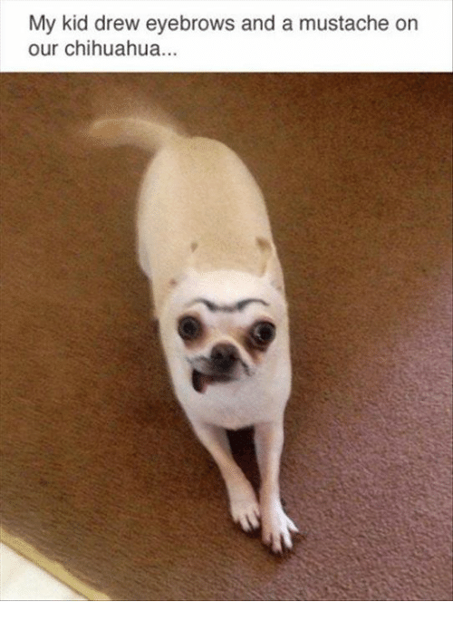 Ornings: My kid drew eyebrows and a mustache orn  our chihuahua...