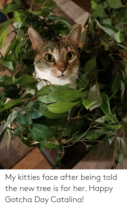 catalina: My kitties face after being told the new tree is for her. Happy Gotcha Day Catalina!