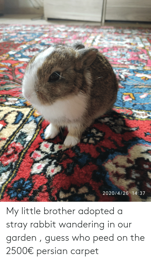 Guess Who: My little brother adopted a stray rabbit wandering in our garden , guess who peed on the 2500€ persian carpet