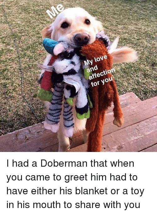 Love, Memes, and Doberman: My love  and  affection  for you I had a Doberman that when you came to greet him had to have either his blanket or a toy in his mouth to share with you