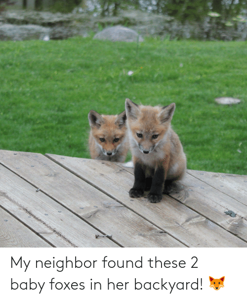 foxes: My neighbor found these 2 baby foxes in her backyard! 🦊