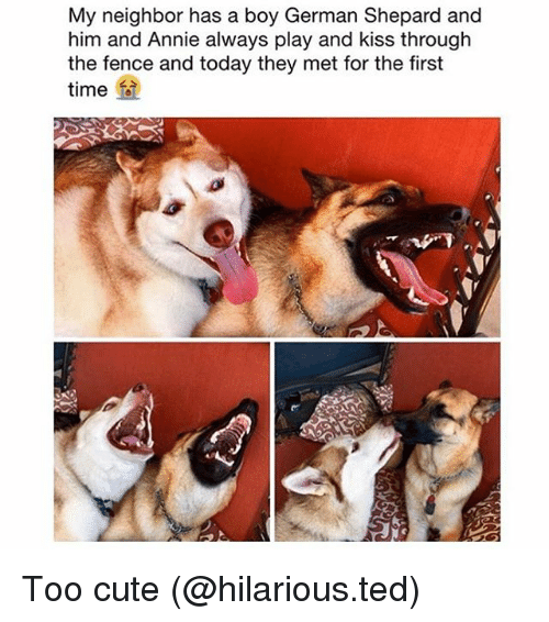 Cute, Funny, and Ted: My neighbor has a boy German Shepard and  him and Annie always play and kiss through  the fence and today they met for the first  time Too cute (@hilarious.ted)