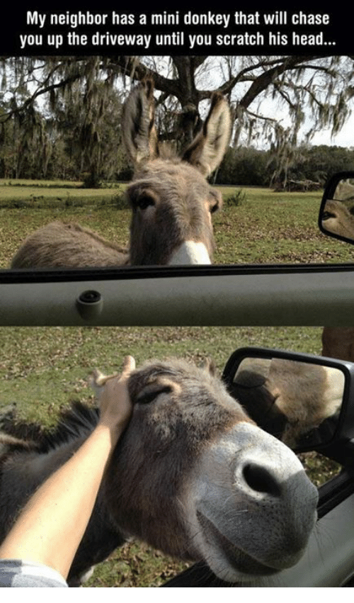 Donkey, Memes, and Chase: My neighbor has a mini donkey that will chase  you up the driveway until you scratch his head...