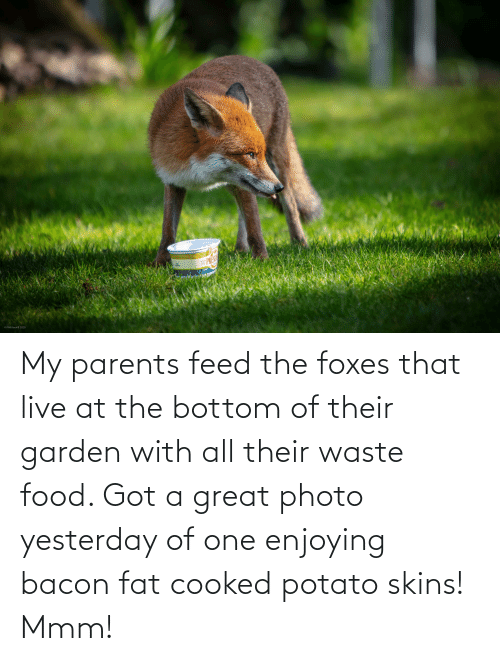 foxes: My parents feed the foxes that live at the bottom of their garden with all their waste food. Got a great photo yesterday of one enjoying bacon fat cooked potato skins! Mmm!