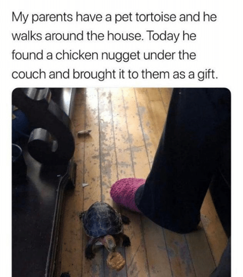 nugget: My parents have a pet tortoise and he  walks around the house. Today he  found a chicken nugget under the  couch and brought it to them as a gift.