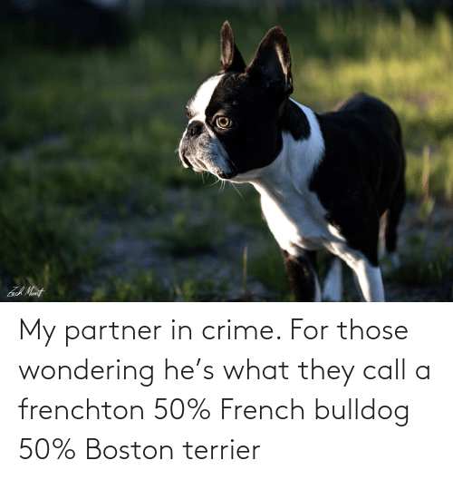 french bulldog: My partner in crime. For those wondering he's what they call a frenchton 50% French bulldog 50% Boston terrier