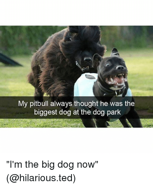 "Funny, Ted, and Pitbull: My pitbull always thought he was the  biggest dog at the dog park ""I'm the big dog now"" (@hilarious.ted)"