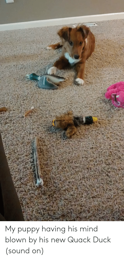 mind blown: My puppy having his mind blown by his new Quack Duck (sound on)