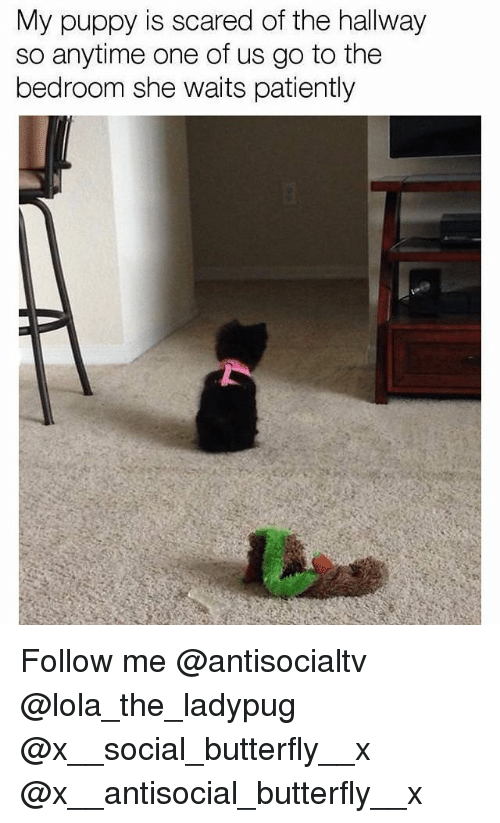 Memes, Butterfly, and Puppy: My puppy is scared of the hallway  so anytime one of us go to the  bedroom she waits patiently Follow me @antisocialtv @lola_the_ladypug @x__social_butterfly__x @x__antisocial_butterfly__x